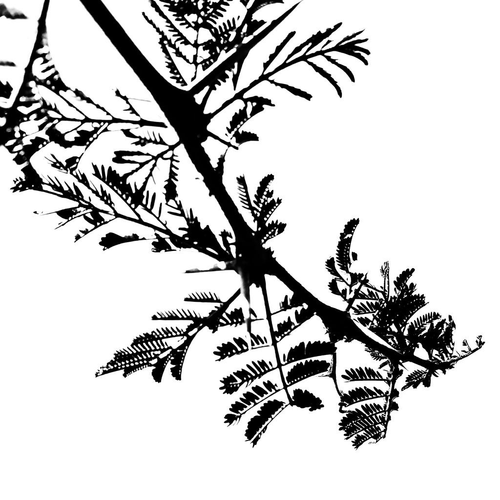 Trees of Keurboom #10 by eleanor