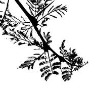 31st Oct 2020 - Trees of Keurboom #10