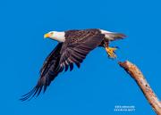 31st Oct 2020 - Morning flight of a Bald Eagle