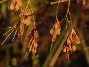 31st Oct 2020 - maple seeds