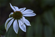 29th Oct 2020 - Coneflower