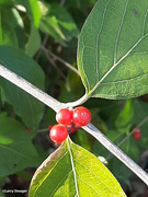 31st Oct 2020 - Red berries