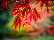 29th Oct 2020 - acer bright
