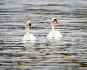 31st Oct 2020 - Swan Lake