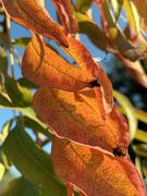 31st Oct 2020 - orange leaves