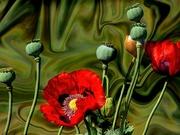 1st Nov 2020 - Textured Poppies