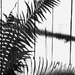 Get Pushed 431 - cycad shadows by annied