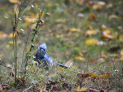 29th Oct 2020 - Bluebird