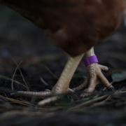 1st Nov 2020 - 'Katherine's' Hen