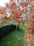 1st Nov 2020 - Rowan Trees