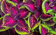 19th Oct 2020 - Coleus Rainbow Plant