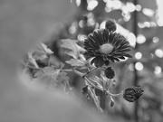 1st Nov 2020 - Red chrysanthemum