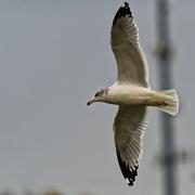 1st Nov 2020 - Ring-billed gull in the sky