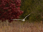 1st Nov 2020 - Ring-billed gull and red tree