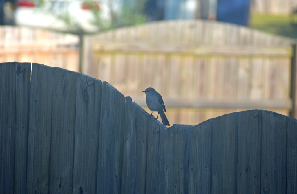 Mockingbird on the fence by homeschoolmom