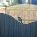 Mockingbird on the fence