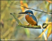1st Nov 2020 - Kingfisher