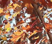 1st Nov 2020 - Red Oak leaf cluster