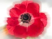 21st Oct 2020 - Poppy Anemone