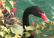 1st Nov 2020 - Black Swan for Good Luck