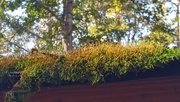 2nd Nov 2020 - Moss growing on the shed roof...