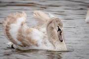 1st Nov 2020 - Juvenile Mute Swan