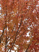 1st Nov 2020 - All the leaves are brown…and the sky is grey
