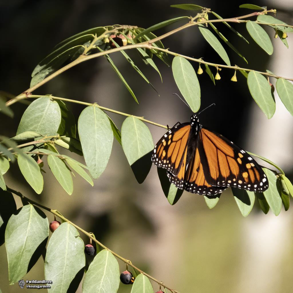 Monarch in the eucalypts by koalagardens