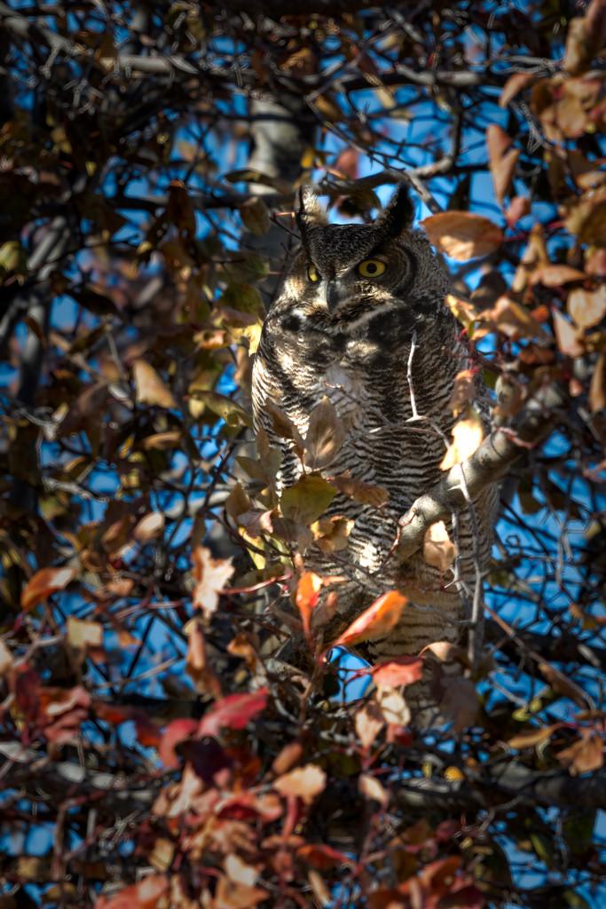 Great Horned Owl by teriyakih
