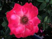 2nd Nov 2020 - Rose 2