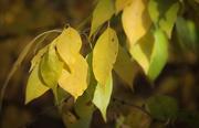 2nd Nov 2020 - Yellow leaves