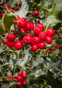 2nd Nov 2020 - Holly Berries in the Rain