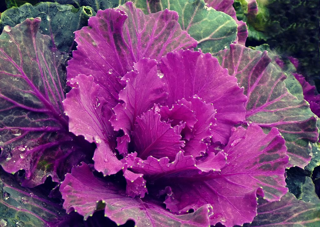 Cabbage Leaves  by wendyfrost