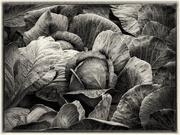 1st Nov 2020 - Cabbage field