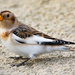 Snow Bunting by lifeat60degrees