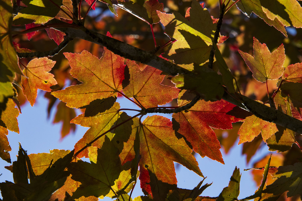 Fall Foliage by kvphoto