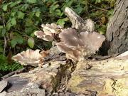 2nd Nov 2020 - Fungus On A Tree