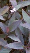 3rd Nov 2020 - Purple-heart (Tradescantia pallida)
