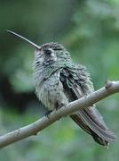 28th Oct 2020 - Broad-billed Hummingbird