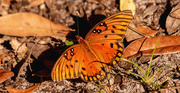 2nd Nov 2020 - Gulf Fritillary Butterfly Staying on the Ground!