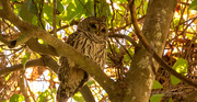 2nd Nov 2020 - Barred Owl in It's Favorite Spot!