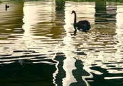 2nd Nov 2020 - Swan Lake