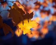 2nd Nov 2020 - Leaf in the Sun