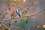 2nd Nov 2020 - Downy Woodpecker
