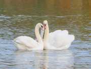 3rd Nov 2020 - Swans with young.
