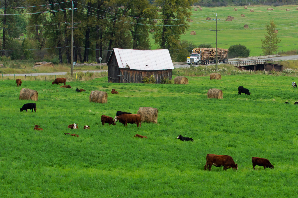Cows. Hay and Hauling by farmreporter