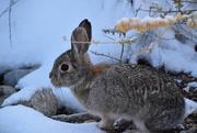 3rd Nov 2020 - Rabbit In The Snow.