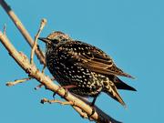 3rd Nov 2020 - European starling