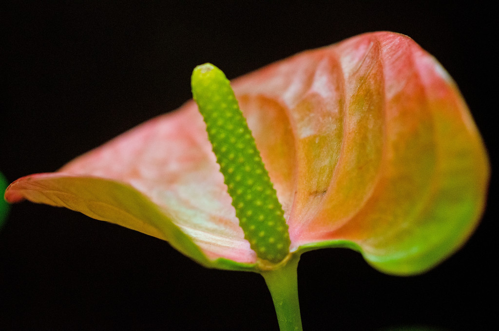 Anthurium by fbailey