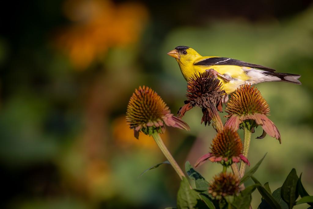 Goldfinch's Balancing Act by jyokota